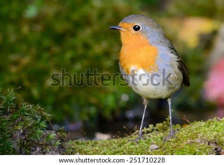 Robin near the water - stock photo
