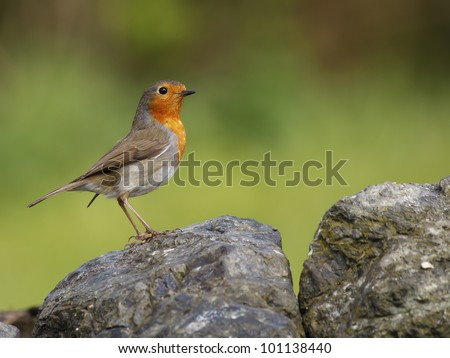 Robin on a rock - stock photo