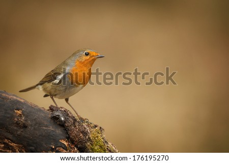 Robin on mossy branch - stock photo