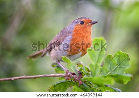 Robin perched in an oak tree in a woodland environment.