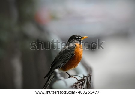 Robin perched on a chain link fence.