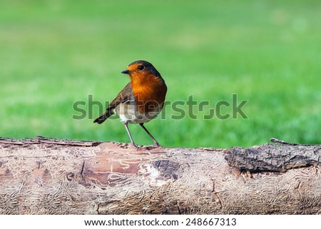 Robin perched on a log. A lovely little robin looks around from its perch on a log.
