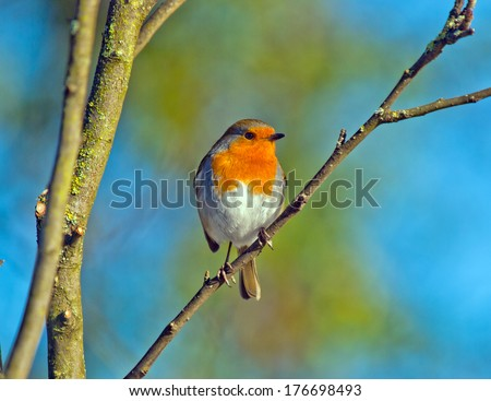 Robin perched on a tree branch