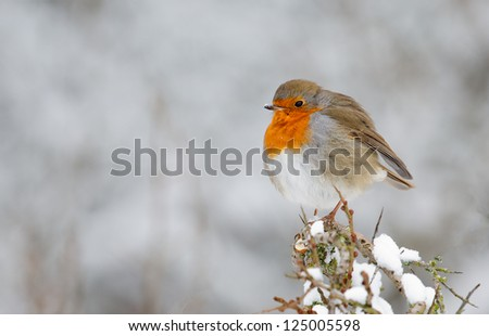 Robin perched on a twig with snow