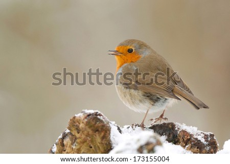 Robin perching on a tree stump in the snow