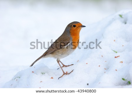 Robin perching on snowy mound