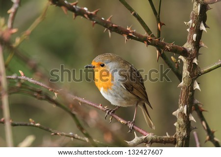 robin red breast bird Erithacus rubecula close up