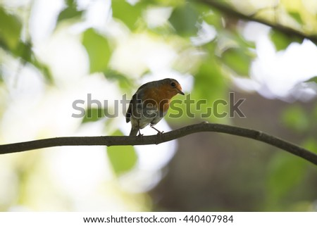 Robin Red Breast (Erithacus rubecula) - stock photo