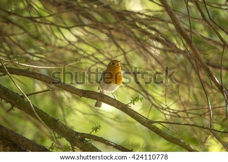 Robin Red Breast (Erithacus rubecula) spotted in National Botanic Gardens, Dublin - stock photo