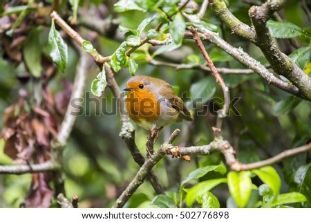 Robin Red Breast (Erithacus rubecula) spotted in National Botanic Gardens, Dublin, Ireland