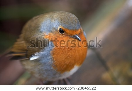 Robin red breast - puffed-up to stay warm
