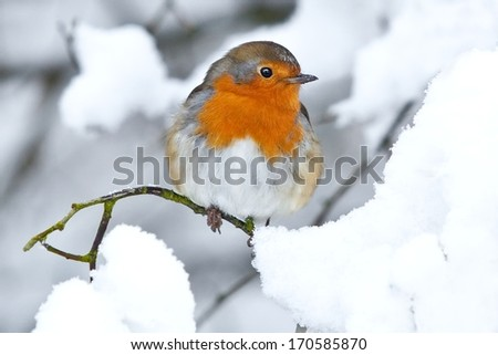 Robin red breast sitting on snow covered branch - stock photo