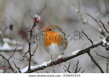 Robin redbreast bird on branch with snow and red berries left facing - stock photo