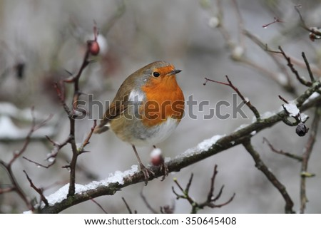 Robin redbreast bird on branch with snow and red berries right facing - stock photo