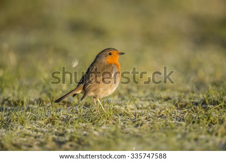 Robin, redbreast, Erithacus rubecula, standing on the grass