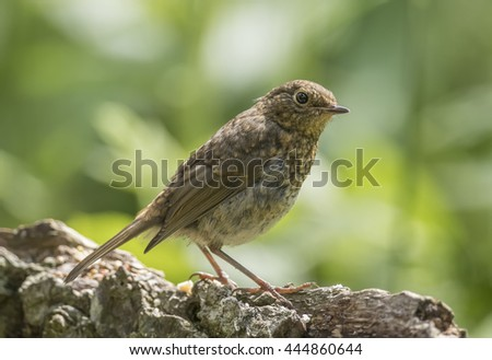 Robin redbreast, juvenile, perched on a branch, close up - stock photo