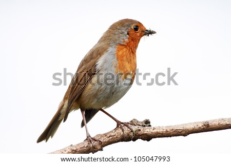 Robin redbreast perched on a stick