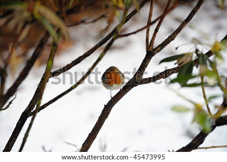 Robin redbreast perching in a bush in winter snow - stock photo