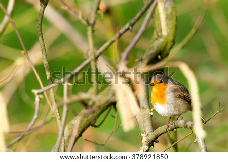 Robin redbreast takes a rest