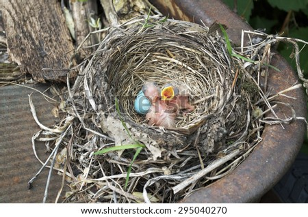 Robin's Nest With Babies