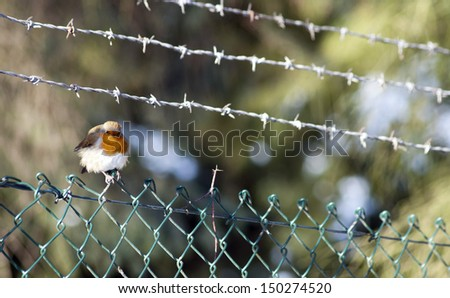 Robin sat on barb wire fence. - stock photo