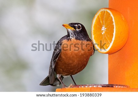 Robin sits on an orange feeder next to a delicious orange. He tilts his head sideways enjoying a beak full of grape jelly.