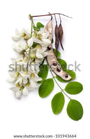 Robinia pseudoacacia (Black Locust, False Acacia) flowers, leaf and seeds on a white background - stock photo