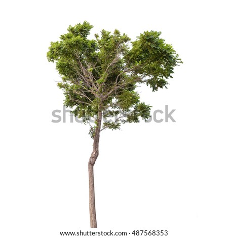 Robinia pseudoacacia. Green tree isolated on white background
