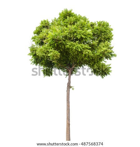 Robinia pseudoacacia. Small green tree isolated on white background