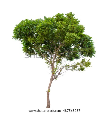 Robinia pseudoacacia. Small tree isolated on white background