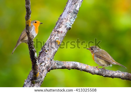 Robins. Interaction of adult and young birds on a branch. - stock photo