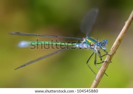 Robust Spreadwing, Emerald Spreadwing, Scarce Emerald Damselfly (Lestes Dryas) resting on grass halm, The Netherlands - stock photo