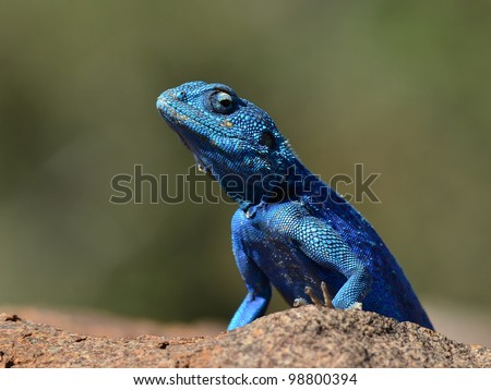 rock agama lizard,namibia,Africa - stock photo
