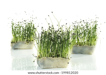 Rock Chives in pots, close-up - stock photo