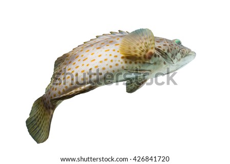 Rock cod fish/swimming fish/grouper fish/cod fishing/tropical fish/red spotted grouper fish on white background/colorful fish scales/beautiful fish body/fish fresh seafood - stock photo