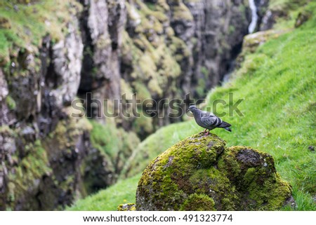 Rock dove, Columba livia in its natural environment on the Faroe Islands