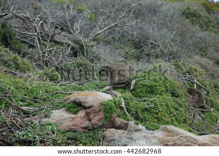 Rock Hyrax at the cape of good hope, South Africa