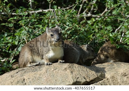 rock hyrax (Procavia capensis) or rock badger in natural habitat