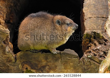 Rock Hyrax, Procavia capensis, South Africa - stock photo