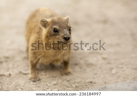 Rock Hyrax standing still on the ground (Procavia capensis). Selective focus.