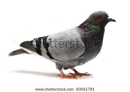 Rock Pigeon (Columba livia) - stock photo