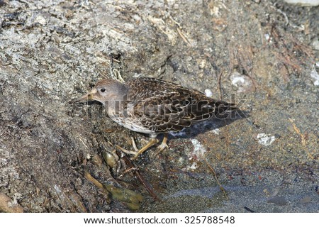 Rock sandpiper in a sunny day looks for food in silt on the bank of a stream