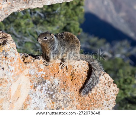 Rock Squirrel  (Spermophilus variegatus) basking in the morning sun on a rock. Grand Canyon, Arizona - stock photo