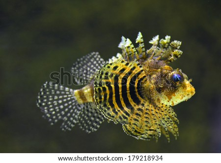 Rockfish (Dendrochirus brachypterus) underwater, close-up - stock photo