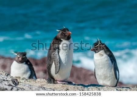 rockhopper penguins - stock photo