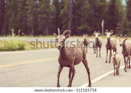 Rocky Mountain Big-Horned Sheep, Banff National Park. Instagram filter. - stock photo