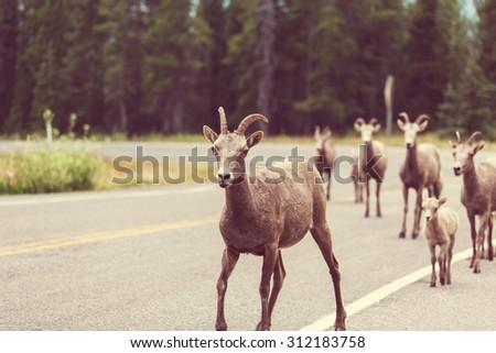 Rocky Mountain Big-Horned Sheep, Banff National Park. Instagram filter. - stock photo
