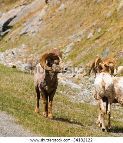 Rocky Mountain Big-Horned Sheep  in Kananaskis Country Alberta Canada - stock photo