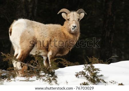Rocky Mountain Big-Horned Sheep in winter, Banff National Park Alberta Canada - stock photo