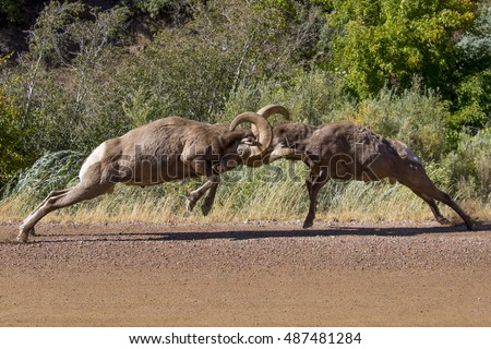 Rocky Mountain Bighorn Sheep at Waterton Canyon, suburban Denver - head butting ritual during the rut